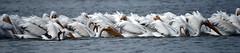 DSC02703 (Dodge Rock) Tags: americanwhitepelican pelican whiterocklake