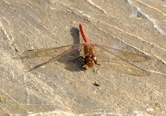 Ruddy Darter Dragonfly-again (FujiPhotoMan) Tags: fujifilm xt1 xf 100400 mm ruddy darter dragonfly gwithian cornwall uk