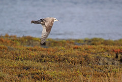 Mew Gull - 094A7675a1c (Sue Coastal Observer) Tags: mewgull megularuscanus blackiespit surrey bc britishcolumbia canada flight ocean