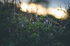 Purple Touched (lutzheidbrink) Tags: landscape german germany travel nikon d5000 nature naturephotography naturelover naturschutzgebiet naturelovers oetinghausen herford
