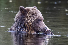 smells fresh,smells good !! (wesleybarr1962) Tags: grizzlybearswimming grizzly bear grizzlybear