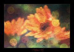 2016 Autumn Art (Sherrye's Art) Tags: artsyfartsy art photoart photoediting nature daisy autumn fall oregon sherrye sherryesteffens hapaphoto picmonkey gerbera gerberadaisy