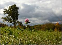 Glcksklee im Herbst (mayflower31) Tags: wiese meadow klee blte blossom himmel sky wolken clouds herbst autumn