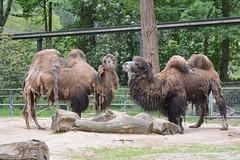 Trampeltiere im Ouwehands Dierenpark Rhenen (Ulli J.) Tags: zoo niederlande nederland netherlands paysbas nederlandene utrecht rhenen ouwehandsdierenpark trampeltier zweihckrigeskamel baktrischeskamel baktriskekamel bactriancamel chameaudebactriane kameel