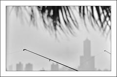 F_DSC8876-2-2-BW-Nikon D800E-Nikkor 28-300mm-May Lee  (May-margy) Tags: maymargy bw   85           fdsc887622bw kaohsiumgcity the85skyscraper finshingrods buildingblocks palmtree  leaves bokeh blur skyscape linesformandlightandshadows mylensandmyimagination naturalcoincidencethrumylens taiwan repofchina nikond800e nikkor 28300mmmay lee