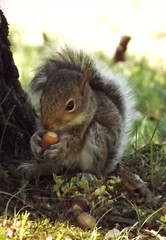acorn snack (lilruby) Tags: babysquirrel babyanimal nature acorn southwestmissouri ozarks wildlife