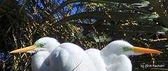 DSC_0901 (rachidH) Tags: birds oiseaux egrets herons aigrette greatwhiteegret garcetagrande ardeaalba whiteheron egrettaalba grandeaigrette plazaitalia buenosaires argentina rachidh nature