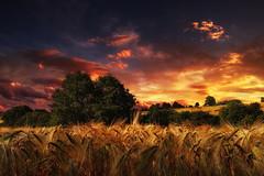 Erntezeit (Plattner Rene) Tags: natur sommer sonne ernte sachsen bume feld himmel getreide landschaft pflanzen