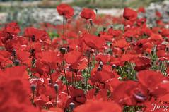 Flor013 (jmig1) Tags: zaragoza nikon d70 flor amapola ababol