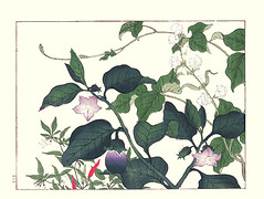 Chili pepper, eggplant and bean (Japanese Flower and Bird Art) Tags: flower chili pepper capsicum annuum solanaceae eggplant solanum melongena bean phaseolus vulgaris fabaceae hoitsu sakai kiitsu suzuki kimei nakano nihonga woodblock picture book japan japanese art readercollection