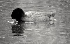 Coot (PhotoLoonie) Tags: coot blackandwhite mono monochrome britishwildlife wildlife wildanimal feathers ukwildlife outdoors