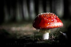 Eat me! (matthiasstiefel) Tags: fliegenpilz pilz mushroom toadstool flyagaric red rot poison