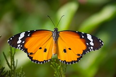 Danaus chrysippus  ( Explored ) (Changer4Ever) Tags: nikon d7200 butterfly danauschrysippus animal insect life nature color colorful bokeh dof closeup macro season outdoor pattern
