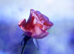Feeling blue (Elisafox22 still Off more than On!) Tags: elisafox22 sony nex7 helios helios442 f28 lens macro red rose blue bokeh background flower sunshine petals shadow elisaliddell2016 hbw bokehwednesday
