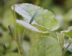 First early frost (Sappho et amicae) Tags: flora frost eljkagavrilovi