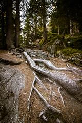 Silence (Rundes4eck) Tags: switzerland baum tree green wald grn forest weg way holz wood wurzeln wurzel root natur nature steine stones wallis schweiz alpin alpen mounten color farbe canon