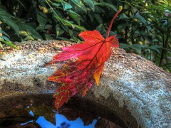 First Blood (clarkcg photography) Tags: leaf 2016 fall autumn maple red blood water waterbowl concrete shrubs green
