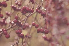 Transient (charhedman) Tags: 52weekthemechallenge victoria rithetsbog berries raindrops bokeh red fleeting