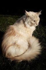 Sunny Winter Days Are Fine.... (Alex M. Wolf) Tags: sidney sid cat cats cato gato gatto felin feline felidae katze kater winter sonne sun