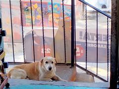 """El perro llamado """"Prncipe"""". (Xic Eseyosoyese (Juan Antonio)) Tags: el perro llamado prncipe de los vecinos acaso eres tu o tal vez mascota pidiendo un pedazo comida con ojos tiernos la tienda nikon coolpix s33 miscelnea can quieto mirando"""