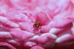 Crab spider (José Miguel Atienza) Tags: jumpingspider arañasaltadora spider spiders araña arañas rosa pink josémiguelatienzamatilla atienzamatillajosémiguel atienza matilla josémiguelatienza josemiguelatienza josemiguelatienzamatilla canon5dmarkii canon canon5dii canoneos5dmarkii aracnido aracnidos rose