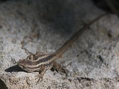 Lagartija de Schroder - Liolaemus schroederi (gerardo.carinao) Tags: regióndelmaule cerro cerrolacampana armerillo chile 2016 liolaemusschroederi lagartijadeschroder reptil