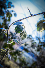 wintertime (nicoheinrich86) Tags: dew wintertime winter jahreszeit freeze frozen cold kalt frost eis ice blat leaf nikon d5300 2016 bokeh dof pov focus