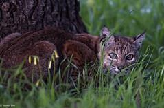 Bobcat (mjbolte) Tags: bobcat mederstreet ucsantacruz