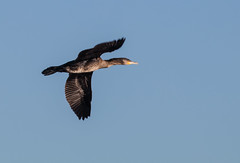 cormorant 069__204 (Baffledmostly) Tags: birds brandonmarsh actions cormorant flying