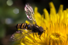 Sunday brunch (cherryspicks (off for a while)) Tags: nature wasp insect macro depthoffield flower dandelion wing outdoor animal