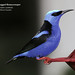 Red legged Honeycreeper, Cyanerpes cyaneus