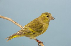 lugano verde diluido (aviarioabellan) Tags: fauna europea mutada