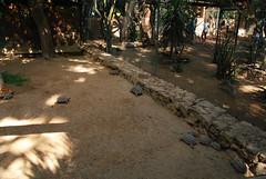 DSC_0116 (RD1630) Tags: fuerteventura oasis park reptile animal tier reptilie schlange snake summer outside outdoor sunny nature natur tortoise schildkrte