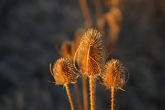Sticking together (Let Ideas Compete) Tags: teasel pod plant prickly winter brown three 3 boulder co colorado gunbarrel bokeh