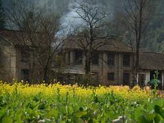 Wuyuan 2016 (hunbille) Tags: china wuyuan province region village huangcun rape seed rapeseed mustard smoke