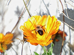 All Mine (kendoman26) Tags: flower bee inscect topazdetail topazsoftware closeup fuji fujifinepix fujifinepixs1