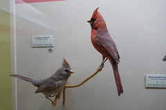 UOI Museum of Natural History 11-16 89 (anothertom) Tags: iowa universityofiowamuseumofnaturalhistory museum iowacity birds williamandeleanorhageboeckhallofbirds display cardinal 2016 sonyrx100ii