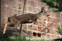 (Sub) urban wildlife (TJ Gehling) Tags: mammal deer cervidae blacktaileddeer odocoileus odocoileushemionus leaping jumping motion fence wall elcerrito