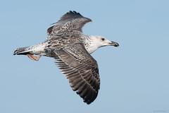 Great black backed gull (juvenile) (Shane Jones) Tags: greatblackbackedgull blackbackedgull gull seabird bird birdinflight wildlife nature nikon d500 200400vr tc14eii