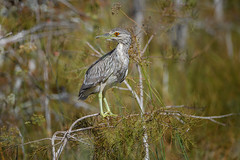 Juvenile Yellow-crowned Night-Heron (Nyctanassa violacea ) in the early morning light (diana_robinson) Tags: juvenileyellowcrownednighth nyctanassaviolacea earlymorninglight evergladesnationalpark florida juvenileyellowcrownednightheron hank
