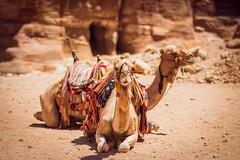Waiting Camels (kirstin.devens) Tags: 2016 july jordan camels petra canoneos70d sigma85