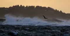 Rough Flight (photo fiddler) Tags: bird windy seas rough novascotia 2016 october
