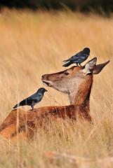 Having her hair done... (Ian A Photography) Tags: animals animalbehaviour birds britishanimals britishbirds deer hind jackdaw mammals nature nikon reddeer ukbirds ukwildlife wildlife goldwildlife