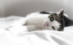 In memoriam of Pinky ( - Ralf) Tags: cat katze imgedenken pinky inmemoriam inmemory love soulmate