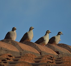 Watching The Sun Rise (ACEZandEIGHTZ) Tags: mourningdove nikon d3200 nature rooftop dove bird zenaida columbidae macroura birdwatcher