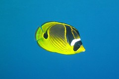out alone (BarryFackler) Tags: scuba honaunaubay bigisland sealife pacificocean coralreef diving raccoonbutterflyfish chaetodonlunula kikakapu vertebrate fish butterflyfish yellow clunula 2016 aquatic bay marineecosystem zoology hawaiiisland undersea life saltwater kona diver tropical biology nature hawaiianislands polynesia organism sea animal marinelife southkona water ecology island konadiving hawaii seacreature being pacific bigislanddiving sealifecamera westhawaii fauna hawaiicounty marine barronfackler sandwichislands honaunau marineecology konacoast ocean underwater outdoor ecosystem dive hawaiidiving marinebiology barryfackler creature