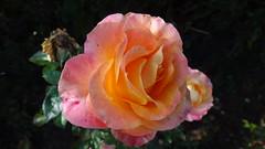 Kelleher Rose Garden, Back Bay Fens (brooksbos) Tags: brooks brooksbos rose flower sony tx30 boston rosegarden fenway kelleherrosegarden backbayfens fens geotagged blossom