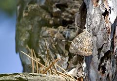 / Lattice Brown / Kirinia roxelana (katunchik) Tags: butterfly insect bulgaria schmetterling bulgarien bulharsko