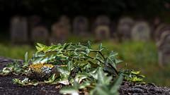 At the graveyard (MH *) Tags: pflanze pilze flechten grn green abgebrochen fundstck emmendingen d7200 50mm discovery cemetery laub blatt frchte fruits friedhof graveyard jdischerfriedhof vanagram