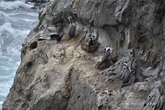 Spotted Shag/Parekareka- Kaikoura (flyingkiwigirl) Tags: spotted shag kaikoura parekareka